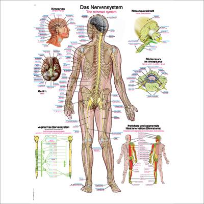 Anatomische Lehrtafeln (Poster 70 x 100 cm) - GREENmed24 GmbH